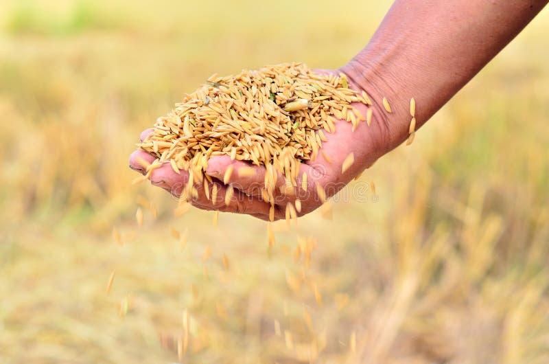 Jasmine rice seed. Close up of jasmine rice seed in farmer hand stock photo