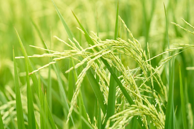Jasmine rice species See the wind swaying movement has caught th. E ears of grain ready to harvest. Feel the search for relaxation. The concept of agricultural royalty free stock image