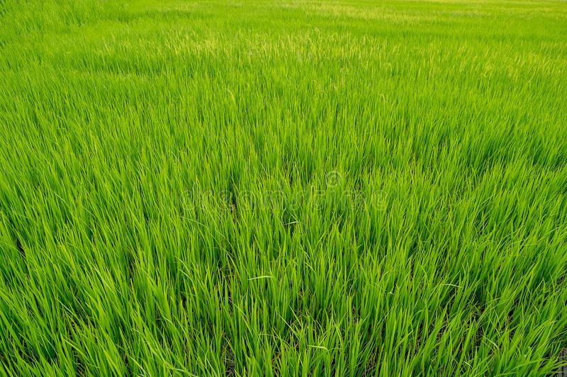 Jasmine rice sprout field is growing in agriculture season. Close up jasmine rice sprout field is growing in agriculture season royalty free stock photography