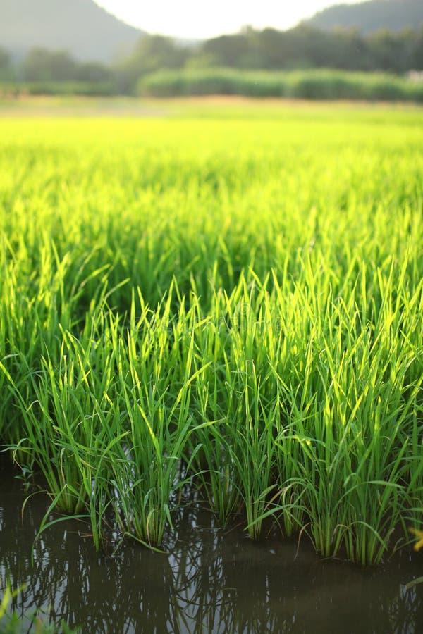 Jasmine Terrace: Jasmine Rice Terrace Field, Bali Stock Image
