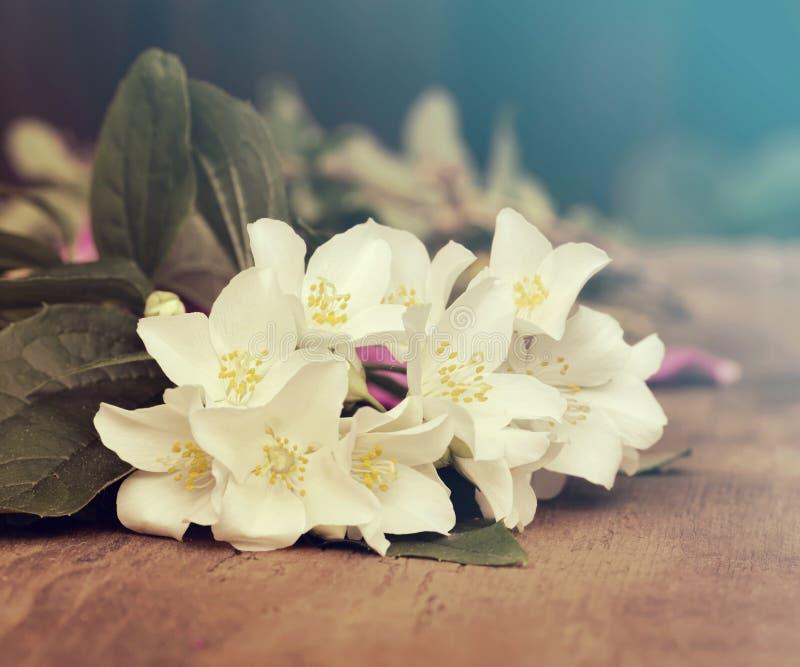 Jasmine spring flowers. The jasmine spring flowers closeup royalty free stock photography