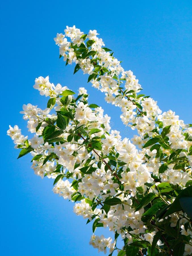 Jasmine spring flowers on blue sky background. The jasmine spring flowers on blue sky background stock images
