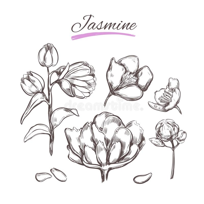 Jasmine. Vector collection. Natural herbs and flowers. Beauty and Ayurveda. Organic cosmetics. Jasmine. Vector collection in sketch style. Isolated objects stock illustration