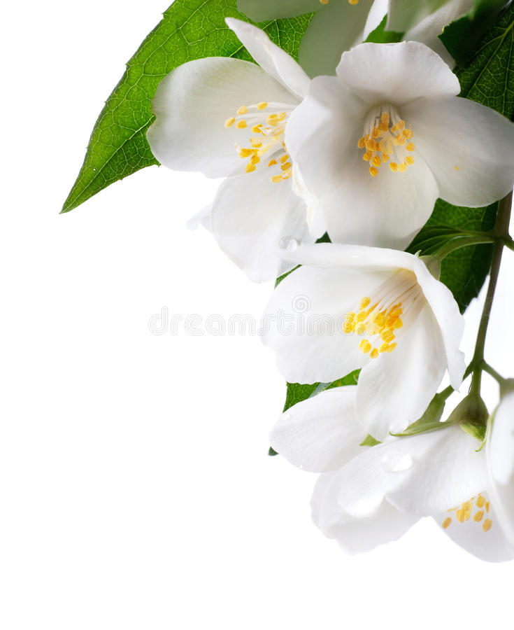 Jasmine White Flower On White Background Stock Photo