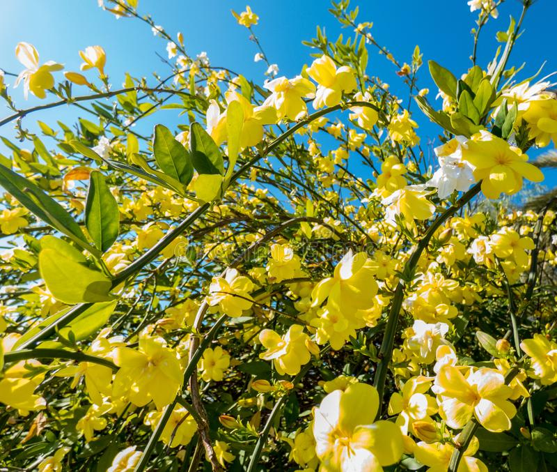 Jasmine with yellow flowers wth blue sky background.  royalty free stock photos