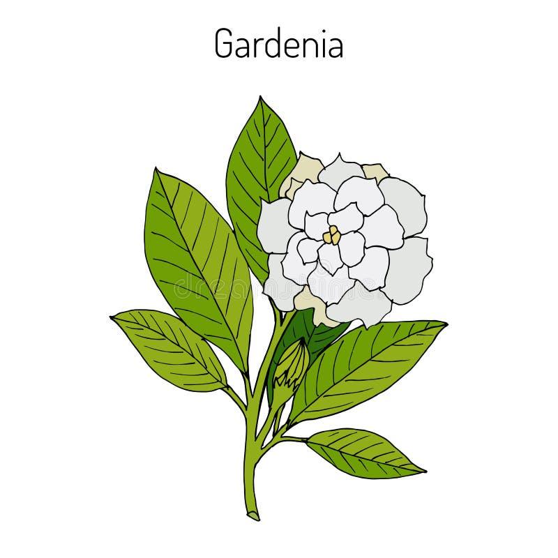Jasminoides de la gardenia, gardenia ilustración del vector