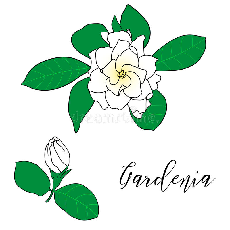 Jasminoides de la gardenia, jazmín de cabo, danh-danh Ejemplo botánico dibujado mano del vector Decoración para las tarjetas, cas ilustración del vector