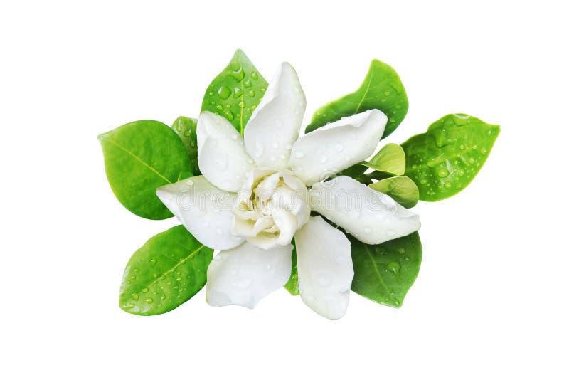 Jasminoides di gardenia, capo Jasmine Flower con le foglie verdi isolate su fondo bianco immagini stock libere da diritti