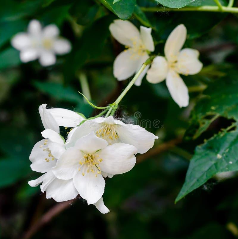 Jasminum grandiflorum,不同地也已知作为西班牙茉莉花,皇家茉莉花,加泰罗尼亚茉莉花 库存照片