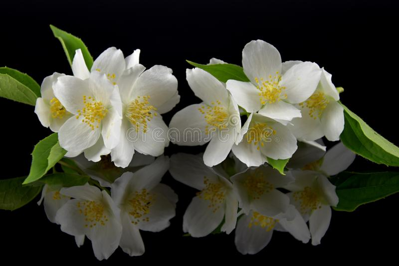 Jasminum. Jasmine flowers with reflection on black glass. Black background. royalty free stock photos