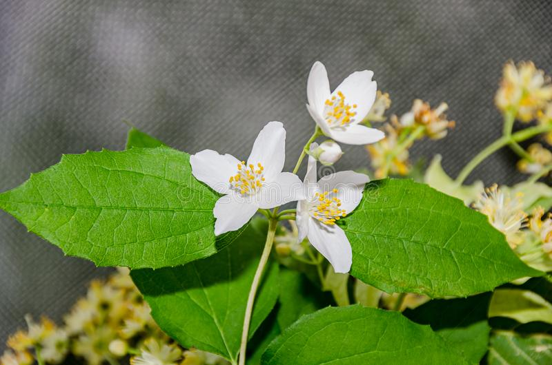Jasminum officinale, pospolitego jaśminu biali kwiaty, krzak oliwka zdjęcie stock