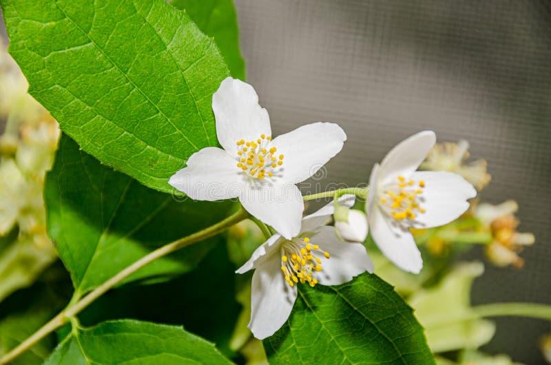 Jasminum officinale, weiße Blumen des gemeinen Jasmins, Buscholive lizenzfreie stockfotografie