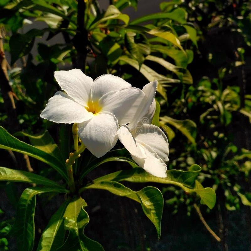 Jasminun grandiflora стоковые изображения