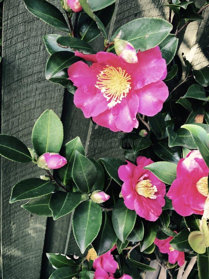 jasne, różowy kwiat zdjęcia stock