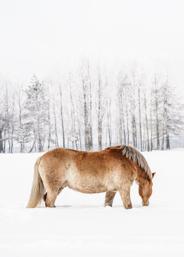 Jasnobrązowy Haflinger koński watować w śnieg zakrywającym zimy polu, zamazani drzewa w tle, pionowo fotografia od strony zdjęcia stock