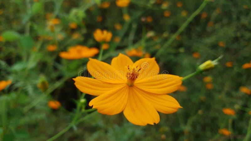 Jasnopomarańczowe kwiaty obrazy royalty free