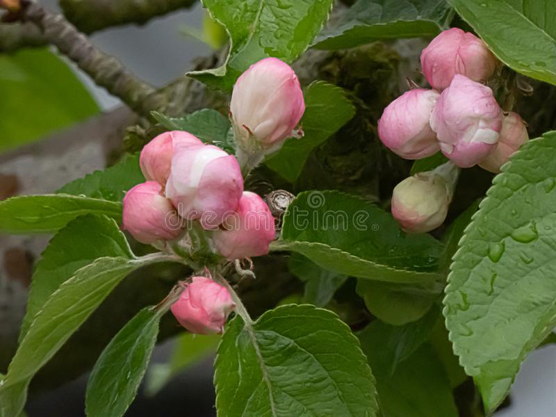 Jasnoróżowi i biali czereśniowi okwitnięcia kwitnie na drzewie w wczesnej wiośnie obrazy stock