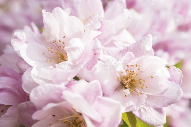 Jasnoróżowi jabłoń kwiaty zdjęcie royalty free