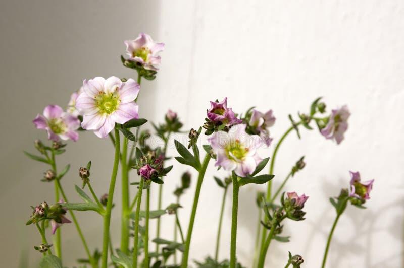 Jasnoróżowy i biały saxifraga arendsi kwitnienie zdjęcia royalty free