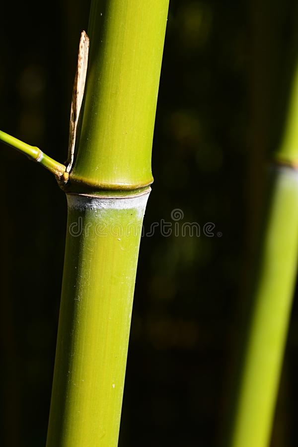 Jasnozieloni bambusowi badyle z bocznym gałęziastego guzka dorośnięciem od guzka frontowy badyl fotografia royalty free