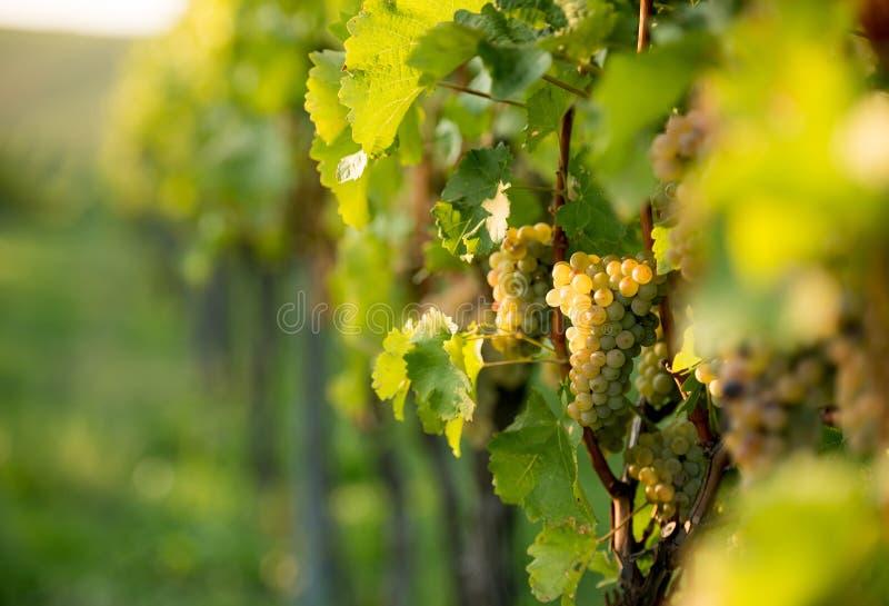 Jasnozieloni grona winogrona na plantacji w Moravia zdjęcie royalty free