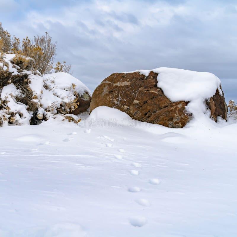 Jasny Kwadratowy zwierzę tropi na śnieg zakrywającej ziemi przeglądać na mroźnym zima dniu zdjęcie stock