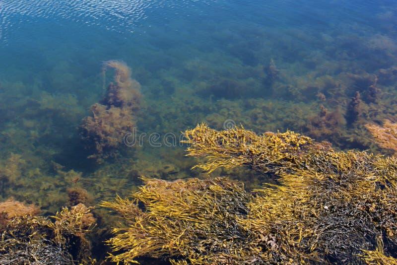 Jasny seawater blisko brzeg z algami, małą ryba i gałęzatką, fotografia stock