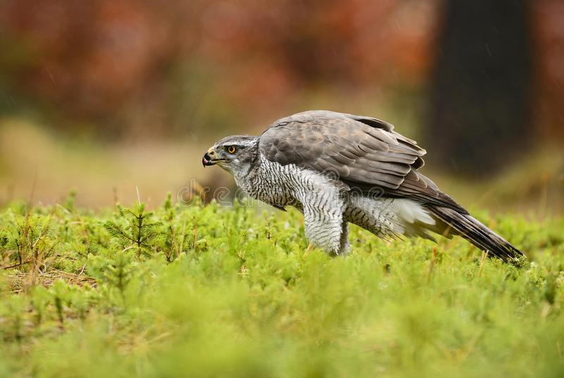 Jastrząb - Accipiter gentilis obraz stock