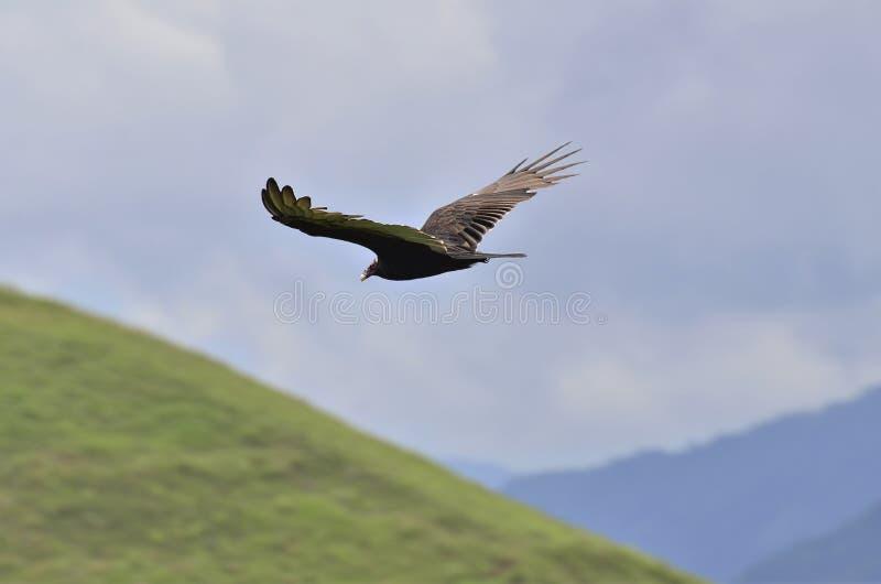 Jastrząb który lata nad górami Andes obrazy royalty free