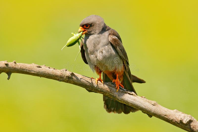 Jastrząbek z chwyt szarańczy pasikonikiem Footed jastrząbek, Falco vespertinus, ptasi obsiadanie na gałąź z jasnym zielonym tłem, obraz royalty free