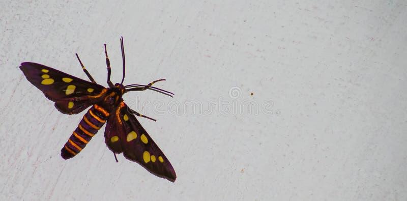Jastrzębi ćma insekt na szorstkiej ścianie obraz royalty free