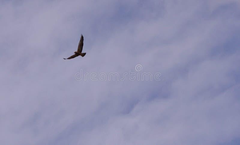 Jastrzębia latanie obraz stock