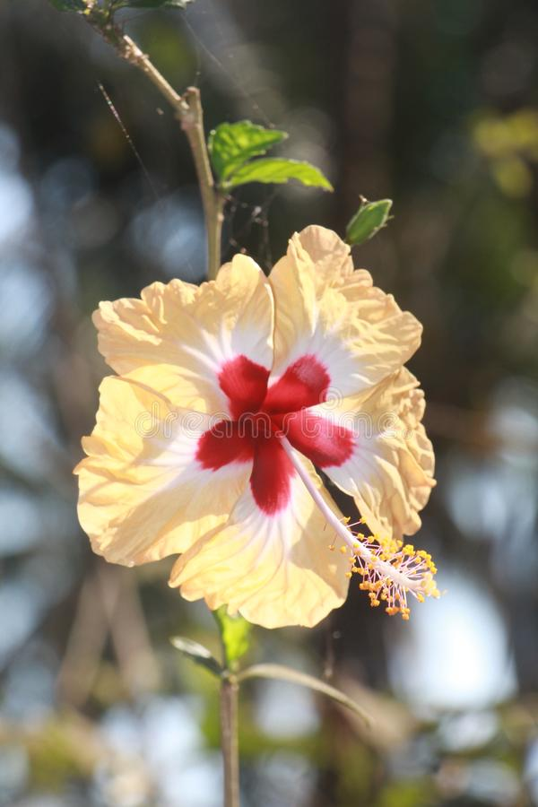 Jaswand flower royalty free stock photography
