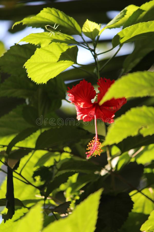 Jaswand ou hibiscus imagens de stock