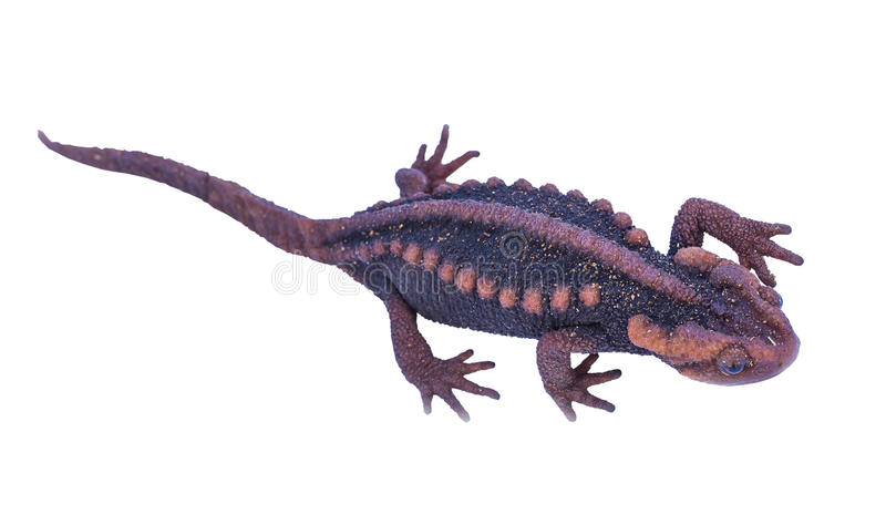 Jaszczur (Tylototriton verrucosus) odizolowywa fotografia royalty free