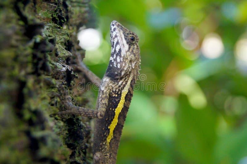 Jaszczurka Chuje w Tropikalnych drzewach Tajwan zdjęcia stock