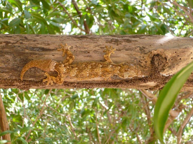 Jaszczurka gada natury drzewny zwierzę obraz stock