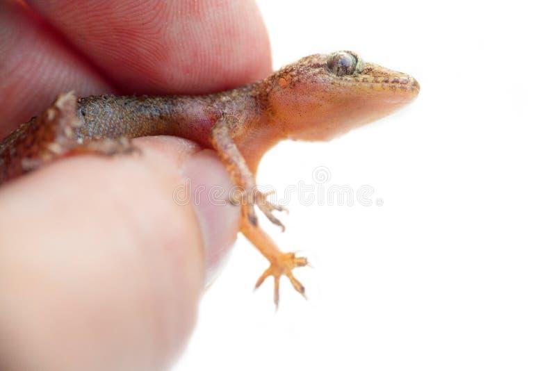 jaszczurka gekon na białym tle w ręce fotografia stock