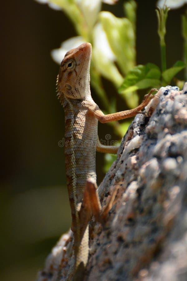 Jaszczurka koh Tao Surat Thani prowincja Tajlandia fotografia royalty free