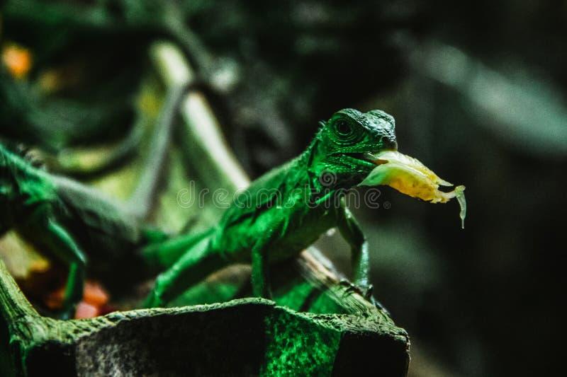 Jaszczurka meksyka?ski gad Chiapas Meksyk Iguana Del Sumidero obraz royalty free