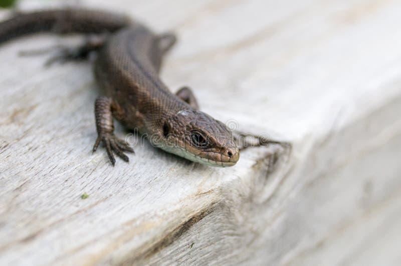 Jaszczurka na desce zdjęcie stock