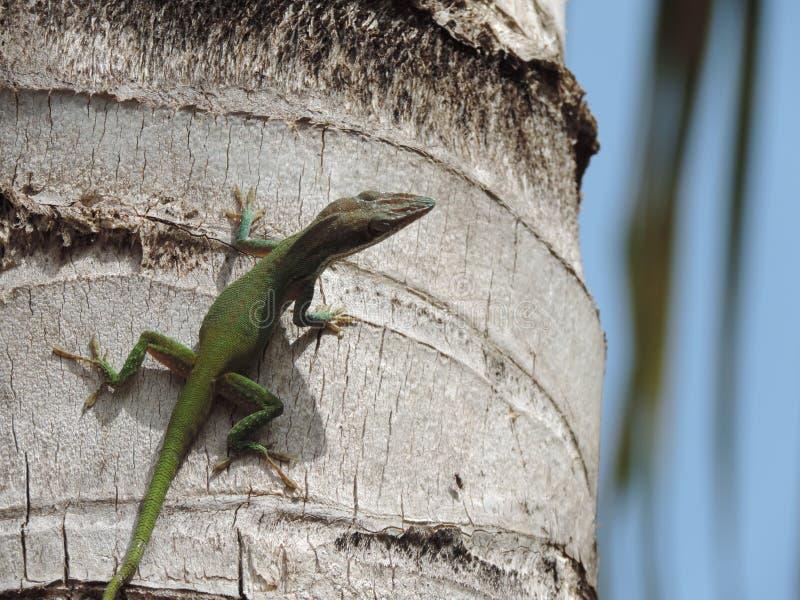 Jaszczurka na drzewie fotografia stock