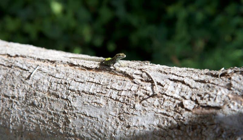 Jaszczurka na drzewie 2nd zdjęcia royalty free