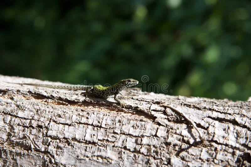 Jaszczurka na drzewie 3rd obrazy stock
