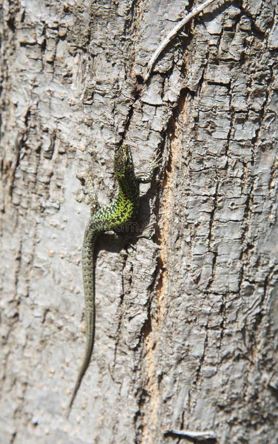 Jaszczurka na drzewie 9th zdjęcie stock