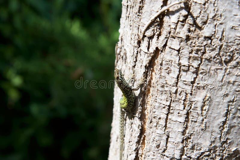 Jaszczurka na drzewie 10th zdjęcia royalty free