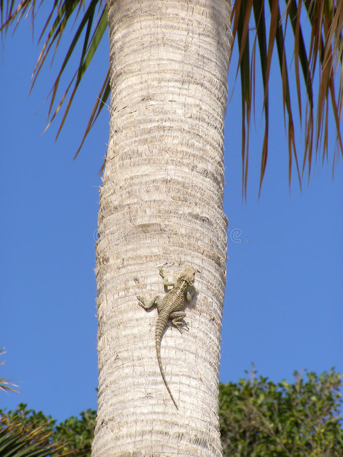 Jaszczurka na drzewku palmowym zdjęcia royalty free