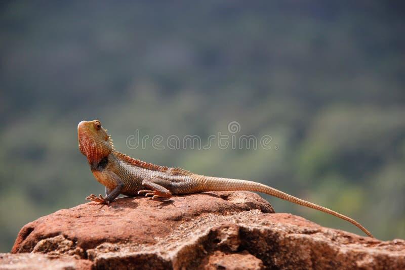 Jaszczurka na górze skały, Sri Lanka lwa/ obraz stock
