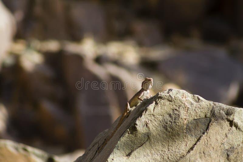 Jaszczurka na skale zdjęcia royalty free
