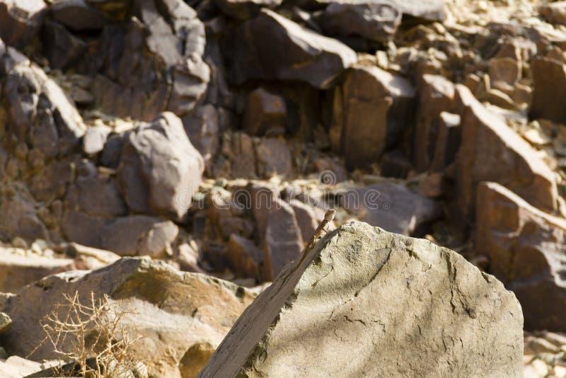 Jaszczurka na skale fotografia royalty free